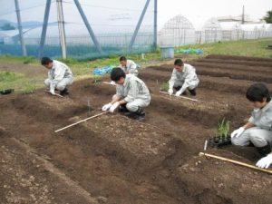 トウモロコシ定植1