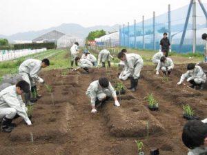 トウモロコシ定植2