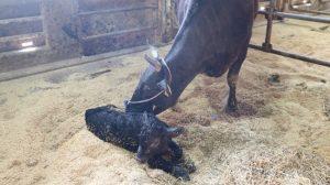 誕生した子牛