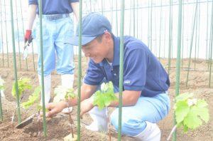 【食品科学科】柳田系デラウェアの接ぎ木苗を定植しました