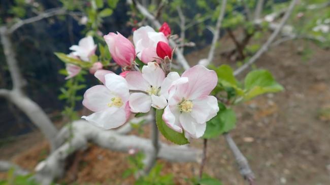 リンゴ (2)