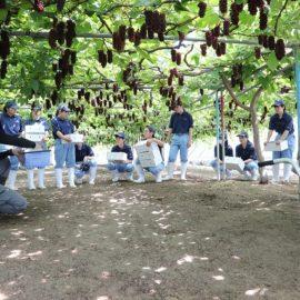 【食品科学科】デラウェアの収穫が始まりました