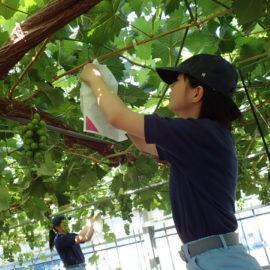 【食品科学科】ブドウの袋かけ実習
