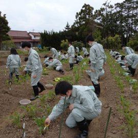 【環境科学科1年】スイートコーンの栽培
