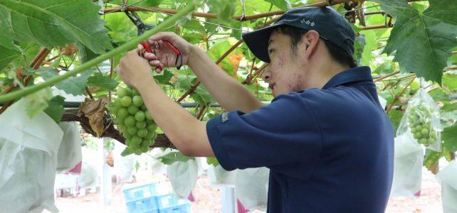 【食品科学科】シャインマスカットの収穫・販売実習を行いました