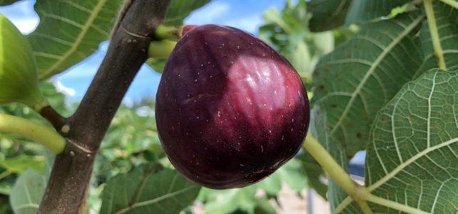 【食品科学科】イチジクの誘引と収穫の様子