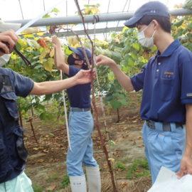 【食品科学科】地元農家へ提供したブドウ苗の生育調査