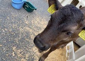 【動物科学科】子牛の紹介をします!②