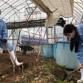 【食品科学科】ブドウ苗木の掘り上げと生育調査の様子
