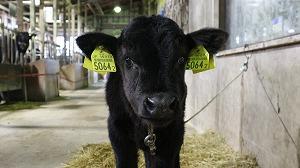 生まれた子牛