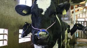 出産した母牛