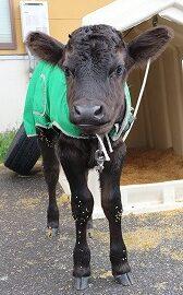 【動物科学科】子牛が誕生しました!