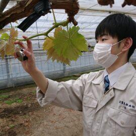 【食品科学科】シャインマスカットの芽かき【一人一樹木シリーズ】