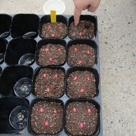 【動物科学科】1年生トウモロコシの栽培(たねまき~定植)