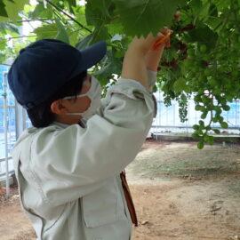 【食品科学科】ブドウ摘粒の様子【一人一樹木シリーズ】
