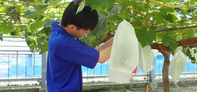 【食品科学科】ブドウ袋かけ・笠かけ【一人一樹木シリーズ】
