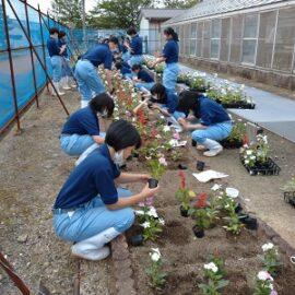 【植物科学科1年】「草花」花壇用草花の栽培2