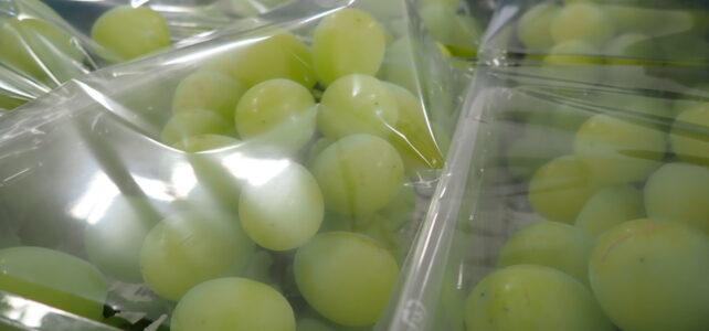 【食品科学科】シャインマスカットの収穫・販売について【一人一樹木シリーズ】