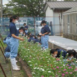 【植物科学科1年】「草花」花壇用草花の栽培3